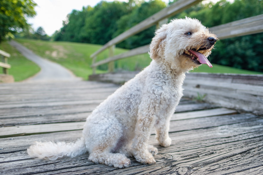 How To Keep A Goldendoodle Cool In The Summer Heat Doodle