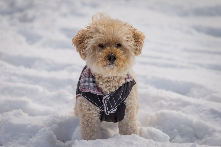 Mini Goldendoodle in snow with jacket on
