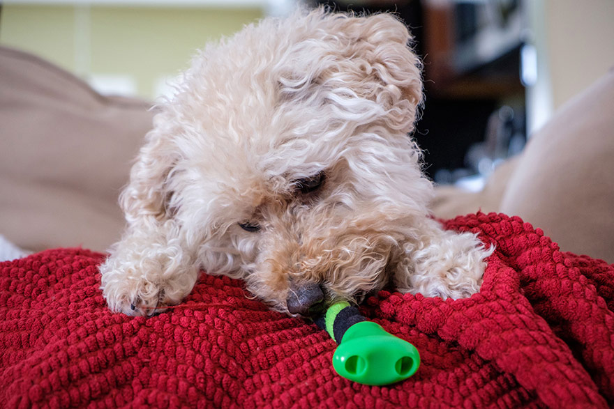 mini goldendoodle playing with toy