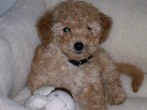 Bailey - our mini Goldendoodle as a puppy