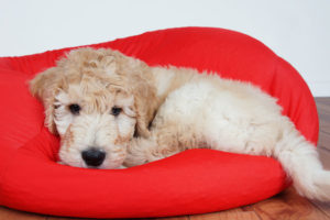 Bored Goldendoodle laying in a bed