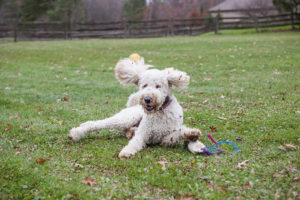 Goldendoodle being silly