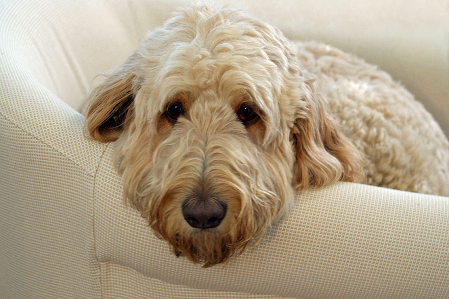 Bored Goldendoodle on chair