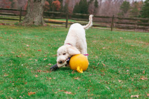 Goldendoodle playing in the yard