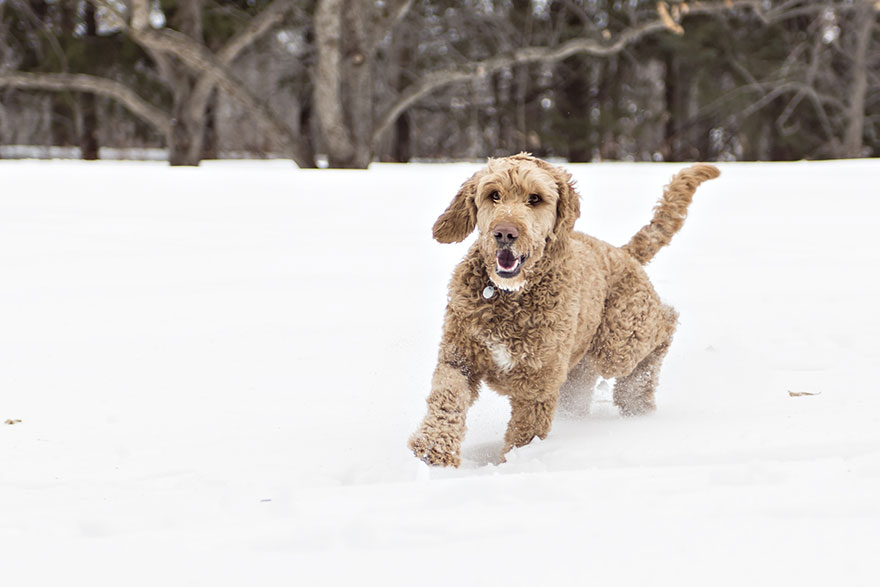 Goldendoodle running in the snow