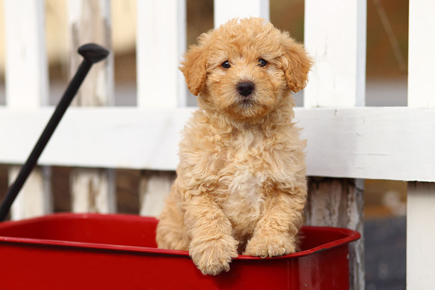 Goldendoodle puppy in a wagon