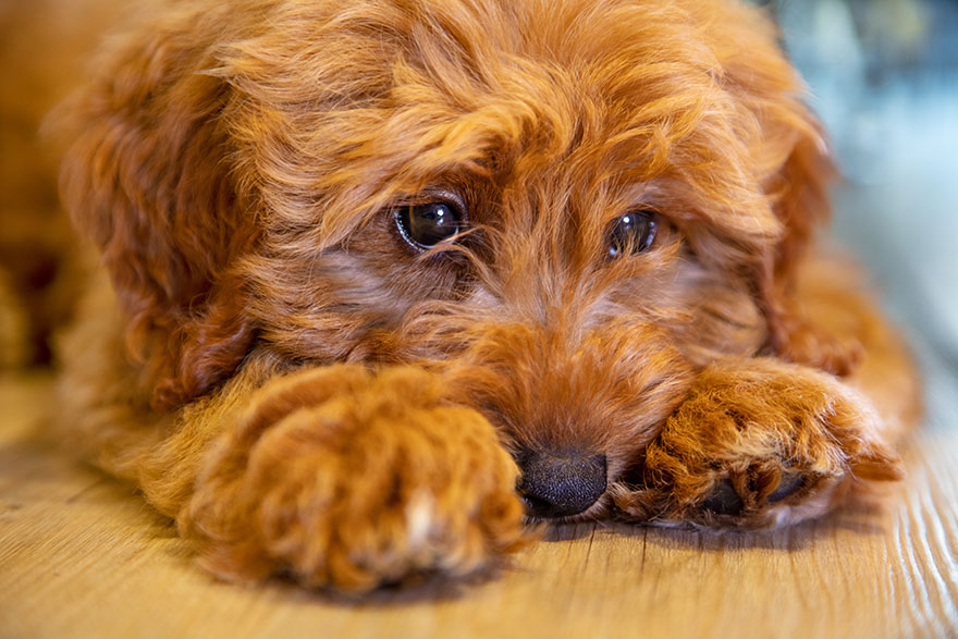 Labradoodle puppy laying down on floor