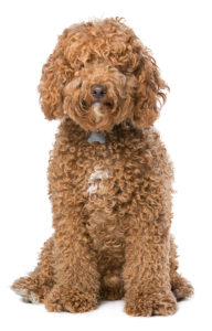 Labradoodle sitting with white background