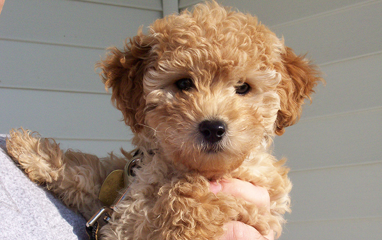 Our Goldendoodle as a puppy