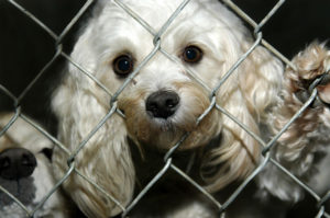 Poodle mix looking out of cage in a shelter