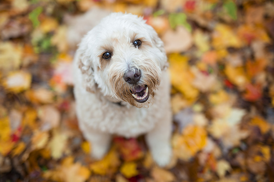 Goldendoodle looking up at camera
