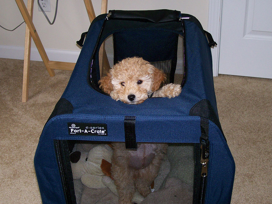 Goldendoodle puppy looking out the top of crate