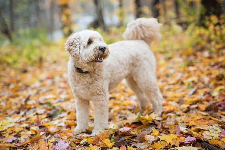 Poodle dog standing on leaves in forest