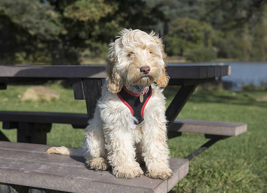Poodle mix dog sitting on picnic table bench