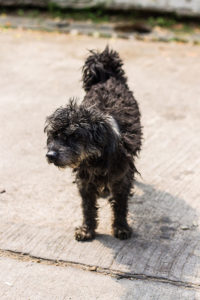 Black Poodle mix dog standing on concrete