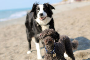 Border Collie and Poodle on beach