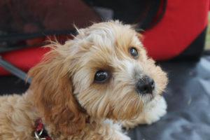 Cute Poodle mix puppy looking up at camera