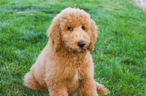 Mini Goldendoodle sitting in grass