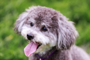 Schnoodle face with green background