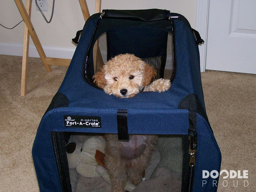 Puppy Goldendoodle looking out of crate