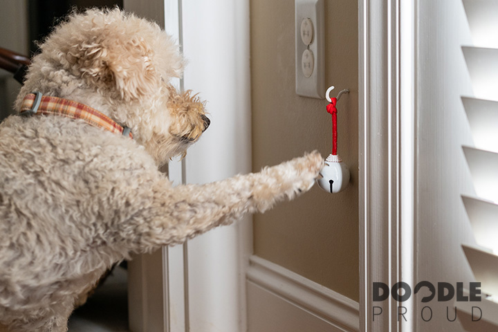 Goldendoodle ringing bell hanging beside door