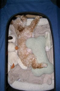 Goldendoodle Puppy in dog crate with toys and pillows