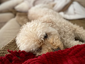 Mini Goldendoodle lying on couch with blanket