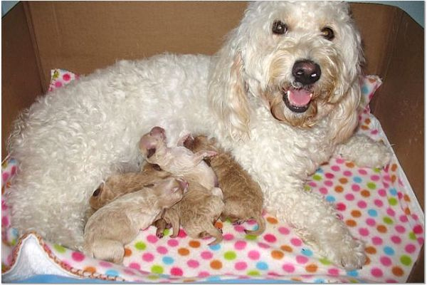 Litter of Goldendoodle puppies with their mother
