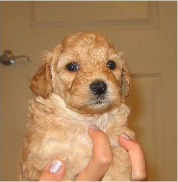 Mini Goldendoodle as a new born puppy