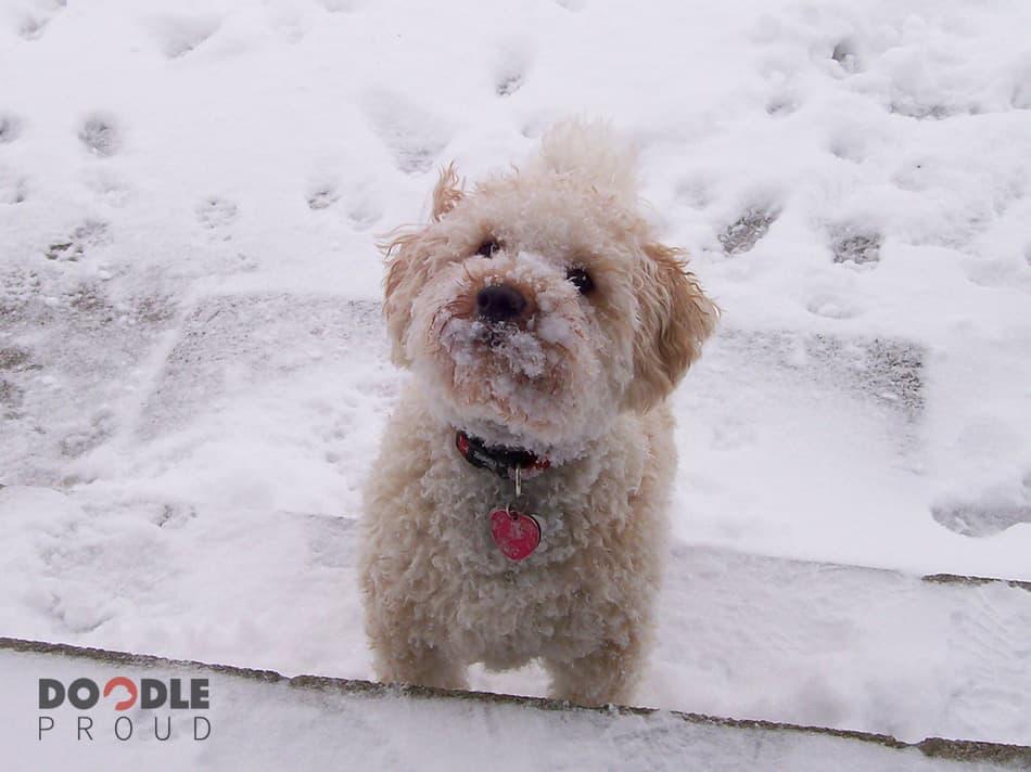Mini Goldendoodle in snow