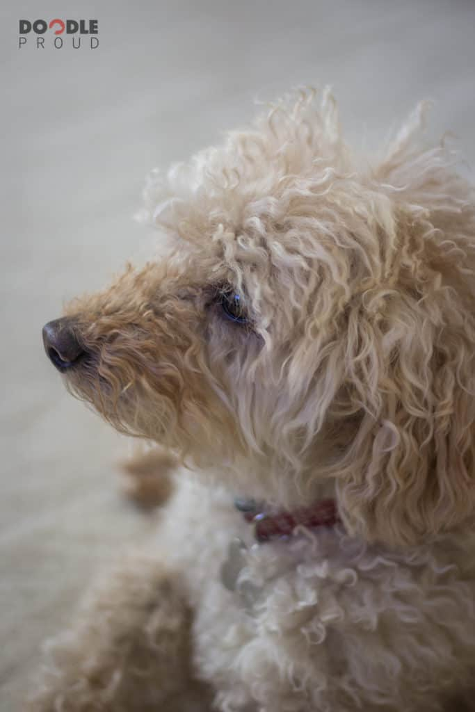 Side view of Goldendoodle face