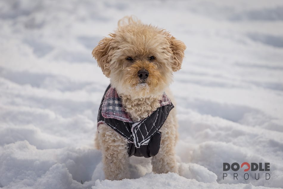 Mini Goldendoodle standing in snow