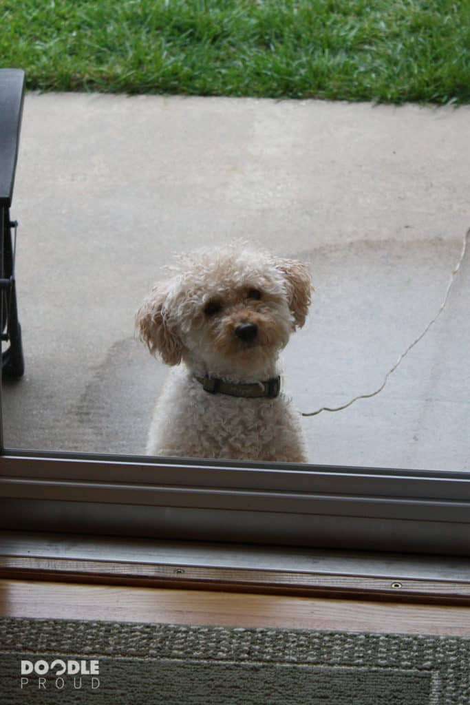 Goldendoodle looking in the house from outside