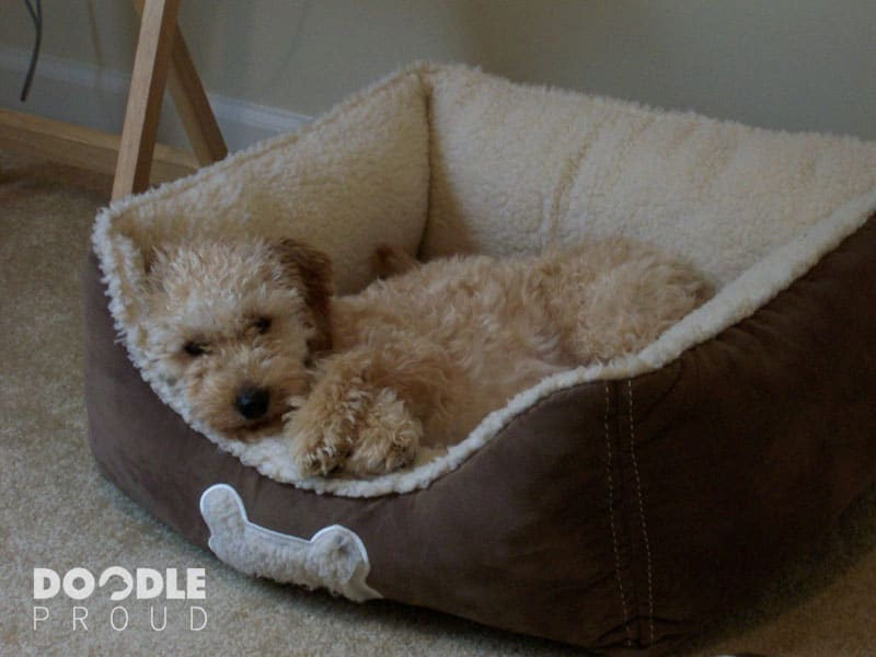 Goldendoodle taking a nap in dog bed