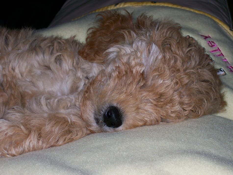 Mini Goldendoodle laying on blanket