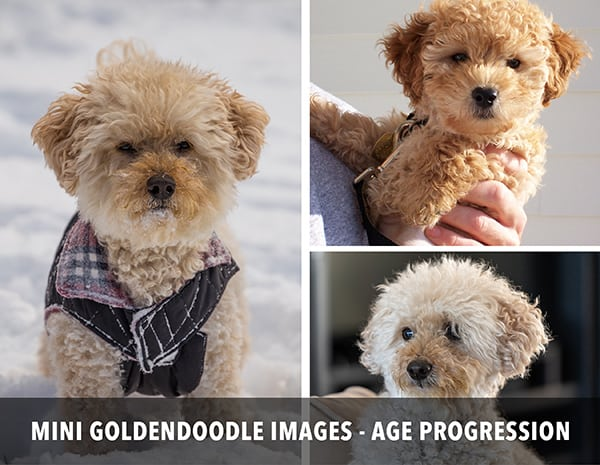 Mini Goldendoodle age progression images