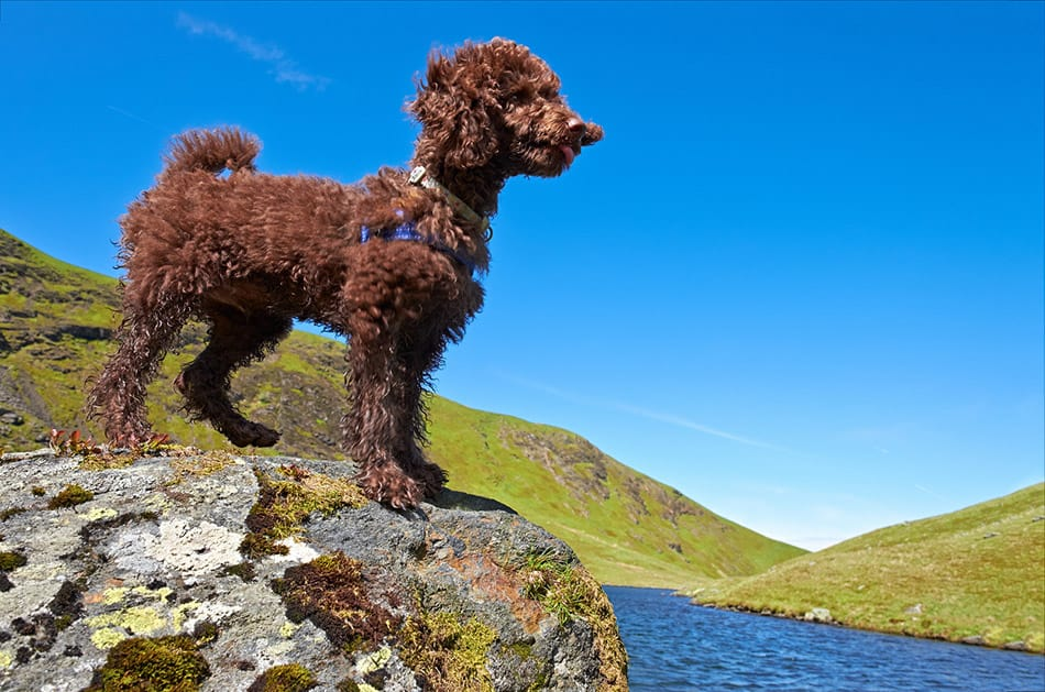 miniature poodle standing by water