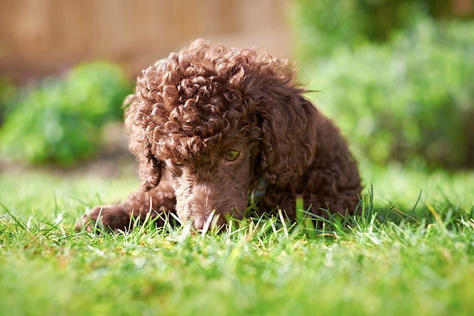 Miniature poodle laying in grass
