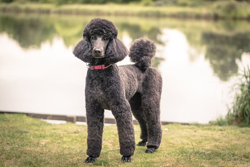 standard poodle standing by lake