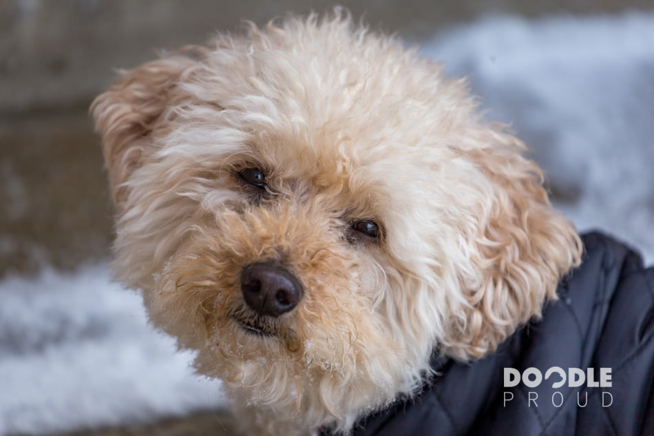 Senior Mini Goldendoodle in snow