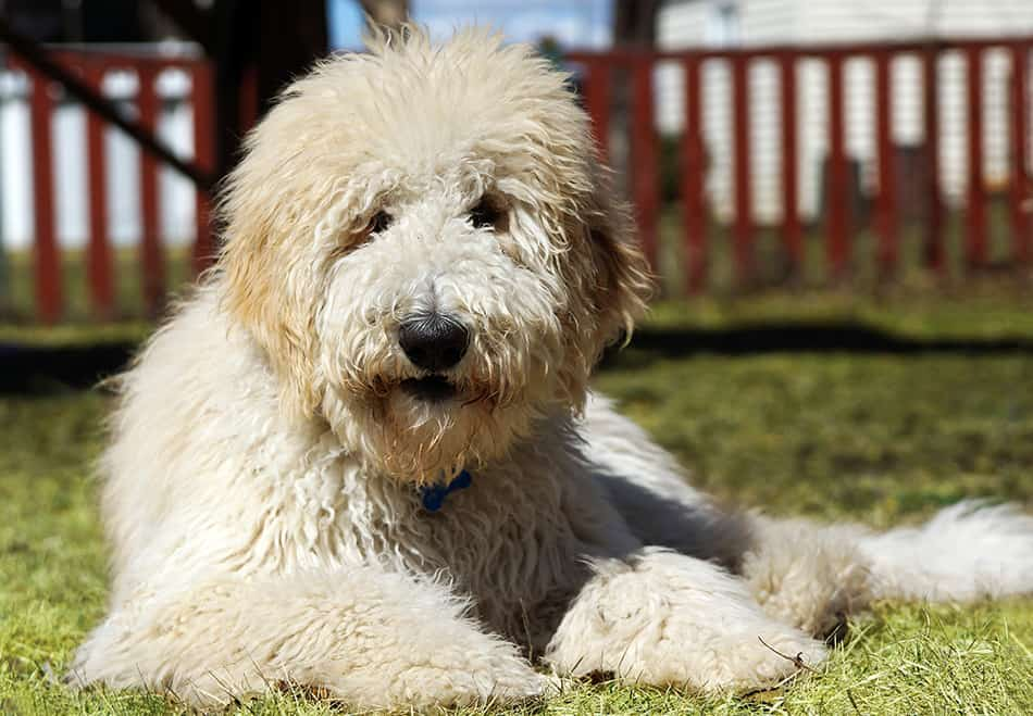 Goldendoodle laying in the grass