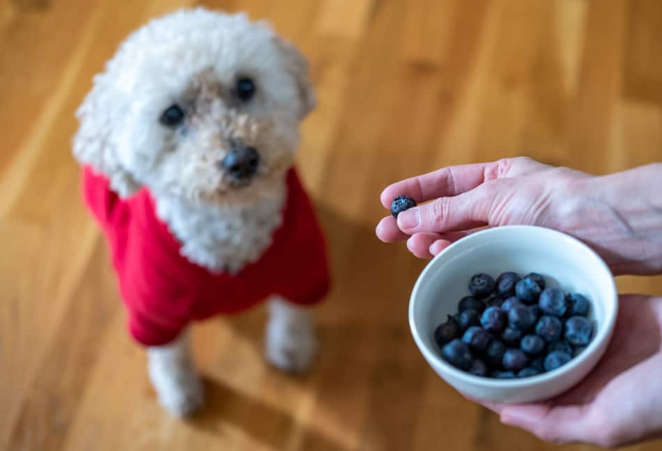 Mini Goldendoodle eating a blueberry