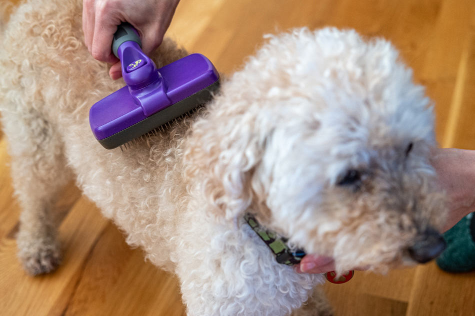 Using a brush on a Mini Goldendoodle