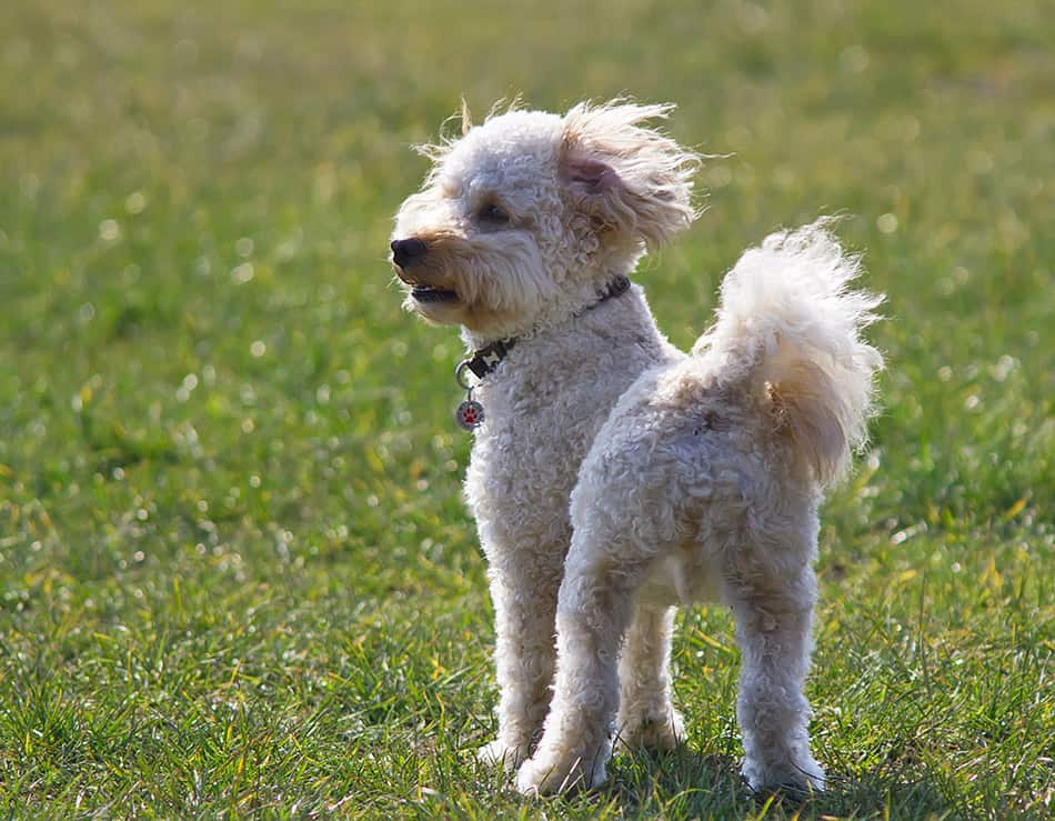 Rear view of Cavapoo dog standing in grass