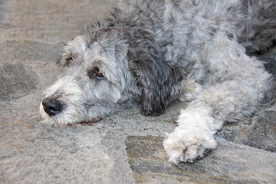 Gray Poodle mix lying on ground