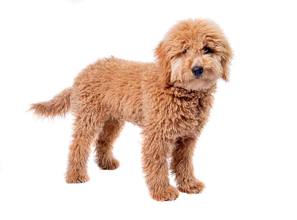 Mini Goldendoodle standing with white background