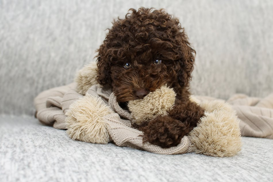 Cute chocolate dog playing with blanket