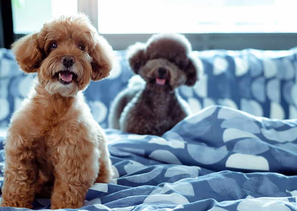 Poodle mix dogs sitting in bed with covers