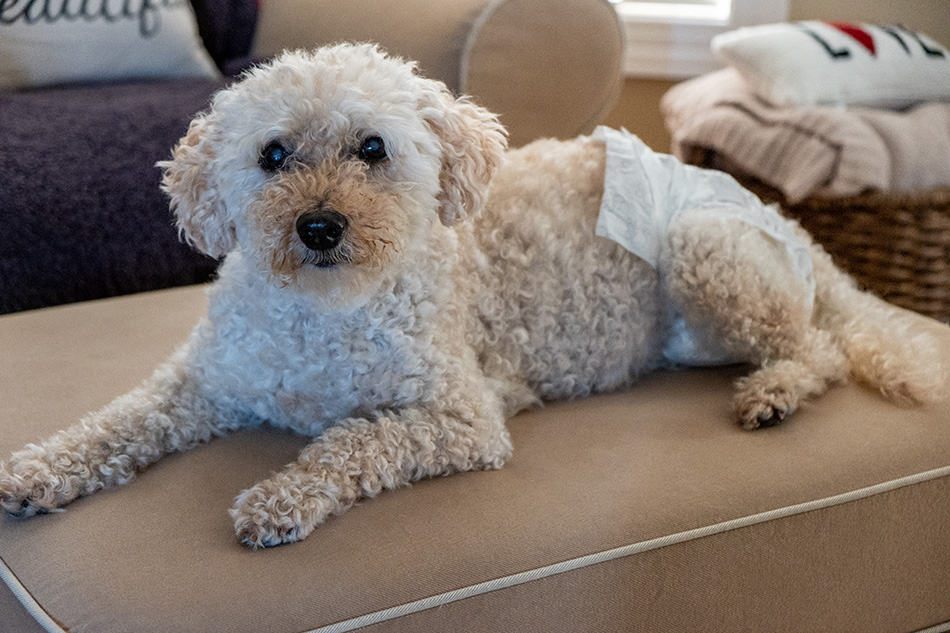 Senior Goldendoodle wearing diapers